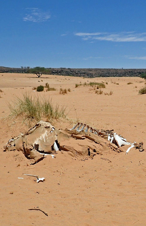 Skelett Wüste Mauretanien
